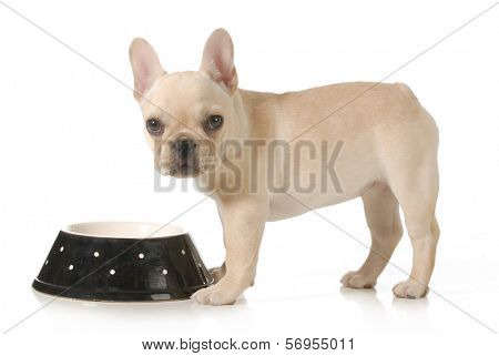 dog eating - french bulldog puppy eating out of a bowl isolated on white background