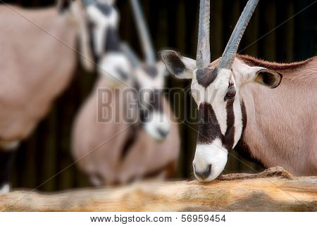 The scimitar oryx