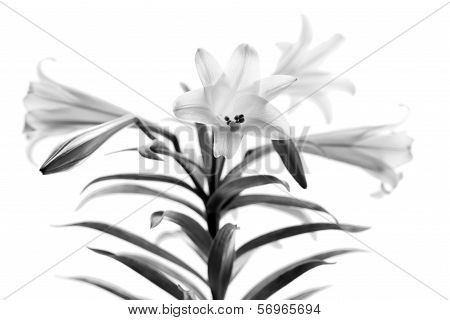 Easter Lilies High Key B&w