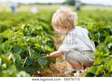 Happy Little Toddler Boy On Pick A Berry Farm Picking Strawberries In Bucket