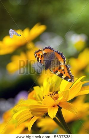 Tortoiseshell Butterfly And Bumble Bees On Sunflowers