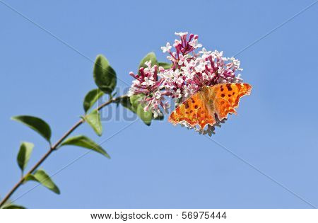 Comma Butterfly With Blue Sky Background