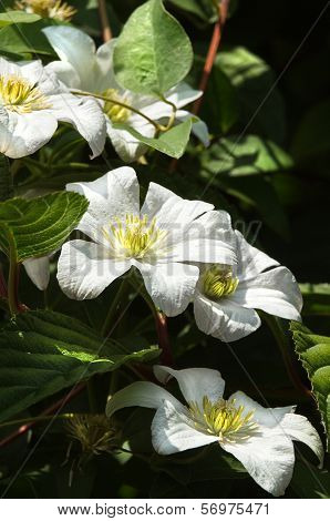 White Clematis Flowers In Summer