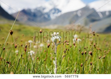 Lawn Which Are Growing Edelweiss