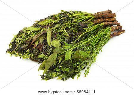 Margosa Plant From Neem Tree