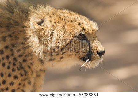 Close-up Of A Wild Cheetah