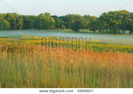 Tall grass prairie and sunflowers, misty morning