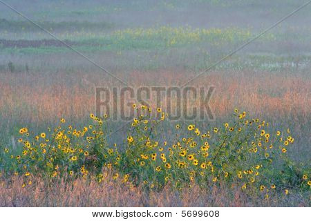 Sunflowers and colorful tall grass prairie, dawn