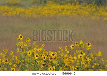 Sunflower patches and tall grass prairie