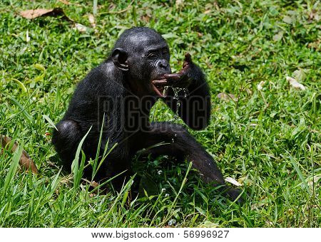 The Cub  Bonobo  Drinks Water