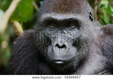 Portrait Of A Female Of The Western Lowland Gorilla