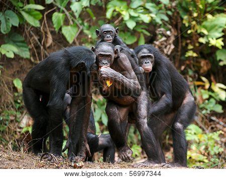 Chimpanzee Bonobo ( Pan Paniscus)