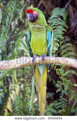 A green ara