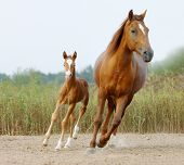 picture of mare foal  - mare and foal walking togeher in a paddock - JPG
