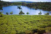 picture of mauritius  - Tea plantation  - JPG