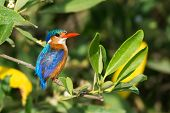 stock photo of glorious  - A Malachite Kingfisher (Alcedo cristata) perched on a mangrove branch