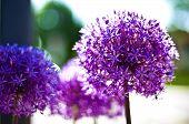 foto of pom poms  - Purple pom pom flowers in the sun - JPG