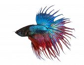 stock photo of siamese  - Side view of a Siamese fighting fish - JPG