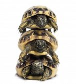 stock photo of testudo  - Front view of three baby Hermann - JPG