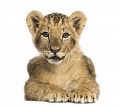 picture of 1-10  - Lion cub lying - JPG