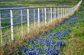 foto of bluebonnets  - Bluebonnets the state flower of Texas blooming by a white fence in the spring - JPG