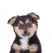 picture of bodyguard  - Cute puppy on white background - JPG