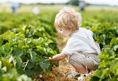 foto of strawberry blonde  - Happy little toddler boy on pick a berry farm picking strawberries in bucket - JPG