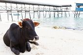 image of sea cow  - cow in front of the sea on a beach Corsica - JPG