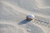 stock photo of hermit  - Hermit crab walking on the beach Socotra Yemen - JPG