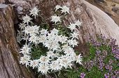 stock photo of edelweiss  - Famous flower Edelweiss  - JPG