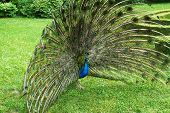 image of peahen  - Peacock beckons peahen in the castle garden in Kromeriz - JPG