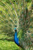 foto of peahen  - Peacock beckons peahen in the castle garden in Kromeriz - JPG