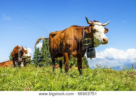 Alpine Cows