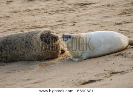 Grey Seal mum & pup