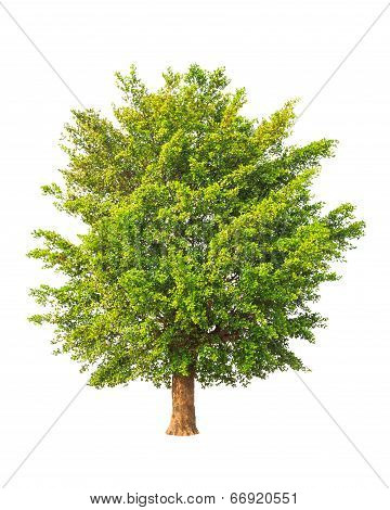 Tropical Tree In The Northeast Of Thailand Isolated On White Background