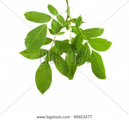 Branch Walnut With Unripe Nuts And Dense Foliage, Isolated On White Background