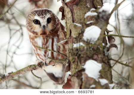 Saw-Whet Owl In Winter