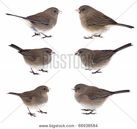 Collage Of Dark-eyed Juncos