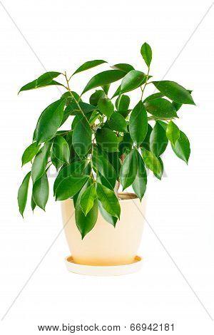 Ficus. Room flower in a flowerpot