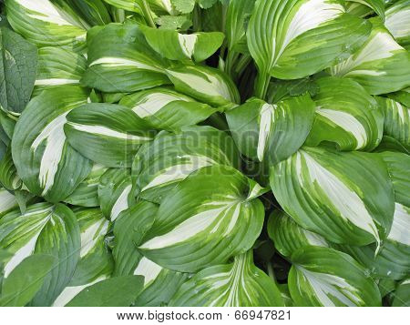 Hosta with the white veins