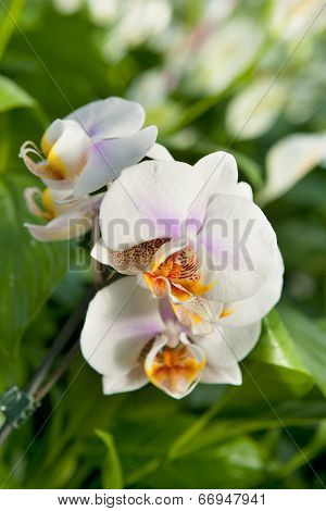 Orchid Plant Detail