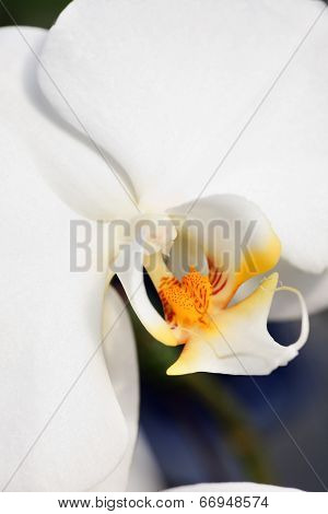 White Orchid Abstract Background