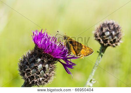 Large Skipper Butterfly (ochlodes Sylvanus)