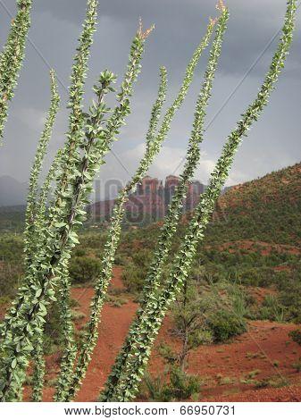 Sedona cactus, USA