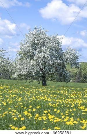 Blooming apple tree in a field of dandelions