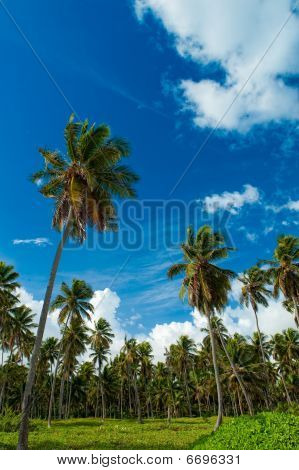 Caribbean Palm Trees