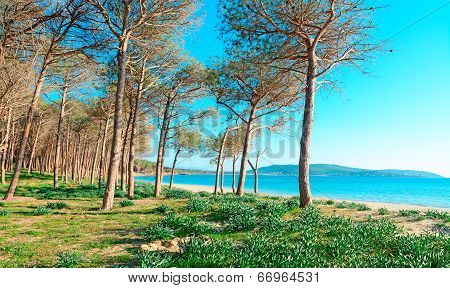 Pine Trees By The Sea