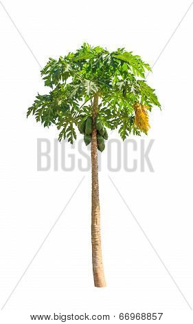 Papaya Tree (carica Papaya) Also Known As Papayas, Papaw, Pawpaw, Tropical Tree In The Northeast Of
