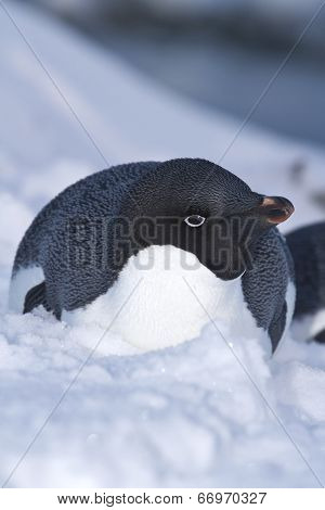 Adelie Penguin Lying In The Snow On The Coast Of The Antarctic Islands