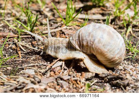 Burgundy Snail
